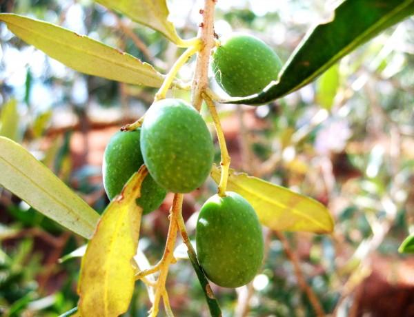 olives 2