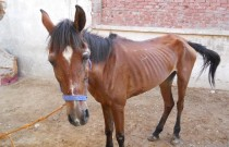 The Egypt Horse Project